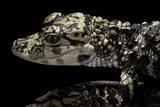 Alligator Sinensis (Chinese Alligator) Photographic Print by Paul Starosta