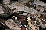 Boa Constrictor Photographic Print by Paul Starosta