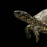 Terrapene Carolina (Florida Box Turtle) Fotoprint van Paul Starosta