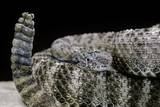 Crotalus Tigris (Tiger Rattlesnake) Photographic Print by Paul Starosta