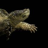 Chelydra Serpentina (Common Snapping Turtle) Photographic Print by Paul Starosta