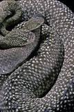 Crotalus Vegrandis (Urocoan Rattlesnake) Photographic Print by Paul Starosta