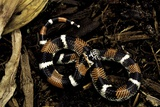 Lystrophis Semicinctus (Hognose Snake) Photographic Print by Paul Starosta