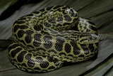 Eunectes Notaeus (Yellow Anaconda) Photographic Print by Paul Starosta