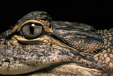 Alligator Mississippiensis (American Alligator) Photographic Print by Paul Starosta