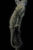 Pogona Brevis (Bearded Dragon) Photographic Print by Paul Starosta