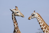 Female Reticulated Giraffe, Kenya Photographic Print by Richard Du Toit