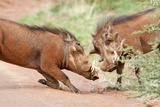 Fighting Warthogs Photographic Print by Richard Du Toit