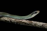 Drymobius Margaritiferus (Speckled Racer) Photographic Print by Paul Starosta