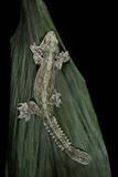 Ptychozoon Kuhli (Flying Gecko) Reproduction photographique par Paul Starosta
