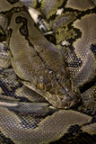 Python Reticulatus (Reticulated Python) Photographic Print by Paul Starosta