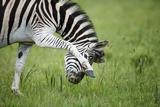 Zebra, South Africa Photographic Print by Richard Du Toit