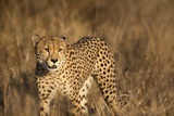 Cheetah, South Africa Photographic Print by Richard Du Toit