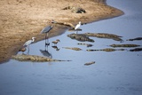 Waterbirds and Crocodiles, South Africa Photographic Print by Richard Du Toit
