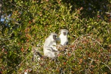 Vervet Monkeys, South Africa Photographic Print by Richard Du Toit