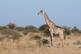 Southern Giraffe (Giraffa Camelopardalis) Photographic Print by Sergio Pitamitz