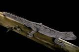 Diplodactylus Ciliaris (Western Spinytail Gecko) Reproduction photographique par Paul Starosta