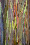 Rainbow Eucalyptus Trees (Eucalyptus Deglupta) Photographic Print by Terry Eggers