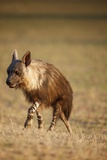 Brown Hyena, South Africa Photographic Print by Richard Du Toit