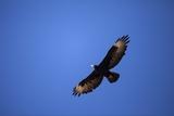Black Eagle, South Africa Photographic Print by Richard Du Toit