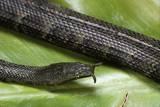 Erpeton Tentaculatum (Tentacled Snake) Photographic Print by Paul Starosta