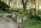 Kenya, Lake Nakuru National Park, Rear View on 3 Zebras at Sunset Photographic Print by Anthony Asael