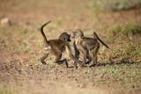 Young Baboons, South Africa Photographic Print by Richard Du Toit