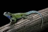 Sceloporus Malachiticus (Green Spiny Lizard) Photographic Print by Paul Starosta