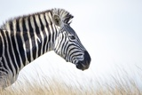 Zebra and Thatch Grass, South Africa Photographic Print by Richard Du Toit