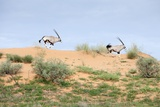 Gemsbok Running, South Africa Photographic Print by Richard Du Toit