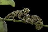 Chamaeleo Johnstoni (Johnston's Chameleon) - Young Reproduction photographique par Paul Starosta