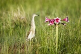 Squacco Heron, South Africa Photographic Print by Richard Du Toit
