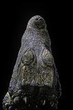 Osteolaemus Tetraspis (Dwarf Crocodile) - Snout Photographic Print by Paul Starosta