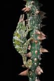 Chamaeleo Johnstoni (Johnston's Chameleon) Reproduction photographique par Paul Starosta