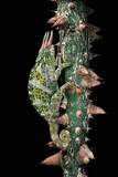 Chamaeleo Johnstoni (Johnston's Chameleon) Photographic Print by Paul Starosta