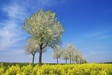 Cherry Tree Alley (Prunus) with Rape Field Photographic Print by Frank Krahmer