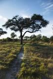 Acacia Tree by Elephant Path, Botswana Photographic Print by Richard Du Toit