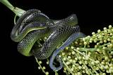 Dipsadoboa Unicolor (Gunther's Green Tree Snake) Photographic Print by Paul Starosta