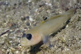 Blackeye Goby Photographic Print by Hal Beral