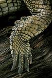 Gavialis Gangeticus (Gharial) - Hindleg Photographic Print by Paul Starosta