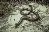 Anguis Fragilis (Slow Worm) Photographic Print by Paul Starosta