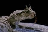 Cerastes Cerastes (Horned Viper) Fotografisk tryk af Paul Starosta