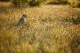 Male Cheetah, South Africa Photographic Print by Richard Du Toit