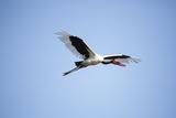Saddlebilled Stork, South Africa Photographic Print by Richard Du Toit