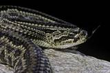 Crotalus Durissus Terrificus (Cascabel or South American Rattlesnake) Photographic Print by Paul Starosta