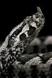 Vipera Ammodytes (Nose-Horned Viper) Photographic Print by Paul Starosta