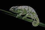 Chamaeleo Johnstoni (Johnston's Chameleon) - Shedding its Skin Reproduction photographique par Paul Starosta