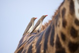 Red-Billed Oxpeckers on Giraffe, South Africa Photographic Print by Richard Du Toit