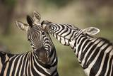 Zebras, South Africa Photographic Print by Richard Du Toit