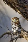 Pearlspotted Owl, South Africa Photographic Print by Richard Du Toit